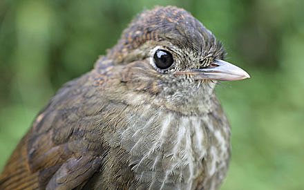 Cundinamarca-Antpitta-by-Andres Cuervo