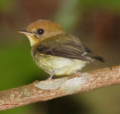 Yellow-throated-Spadebill-Nigel Voaden