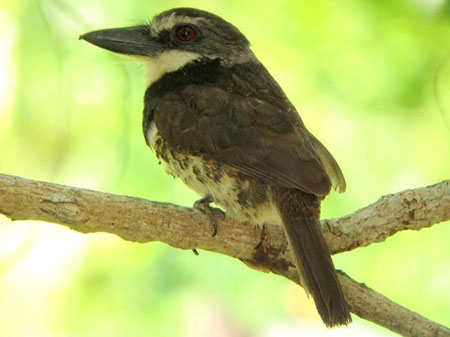 Sooty-capped-Puffbird-by-Diego Calderon