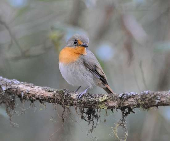 Lompobattang-Flycatcher-by-Nick-Bray