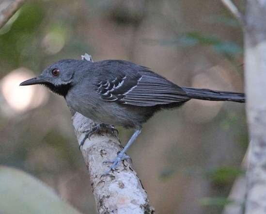 Slender Antbird - NE Brazil