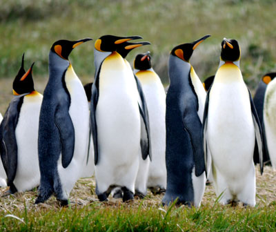 King Penguins by Tracey Lambert
