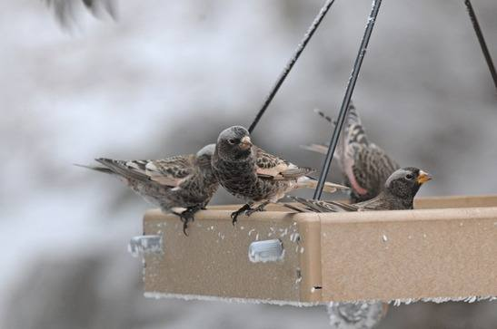 Black Rosy-Finches at Sandia Crest Nov 2014 By Nick Bray