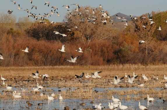 Snow Geese at Bosque del Apache 2014 by Nick Bray