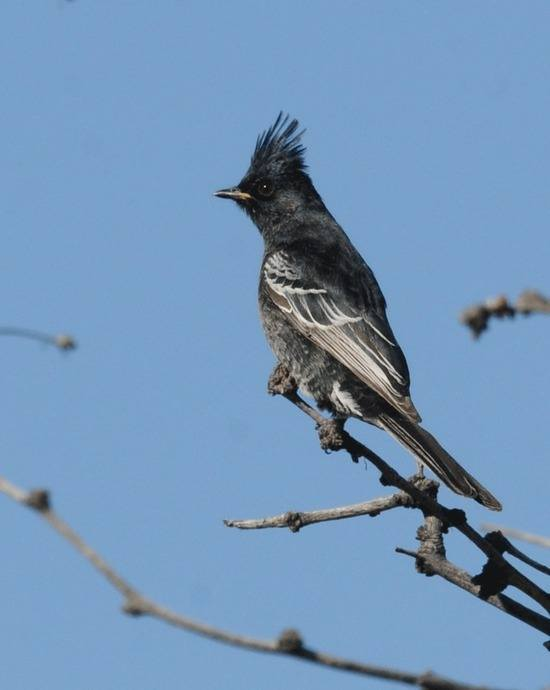Phainopepla at Percha Dam by Nick Bray