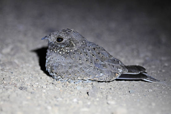 Star-spotted Nightjar - Ethiopia tour 2014 by Nick Bray