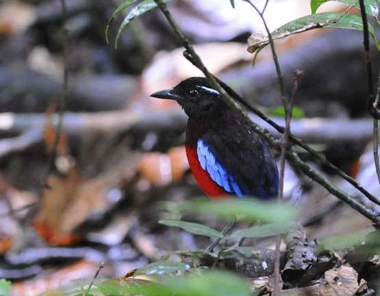 Black-crowned Pitta by Nick Bray