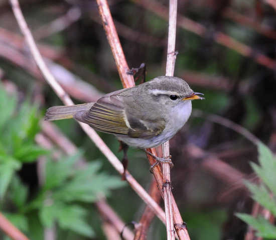 Chinese Leaf-warbler- SIchuan
