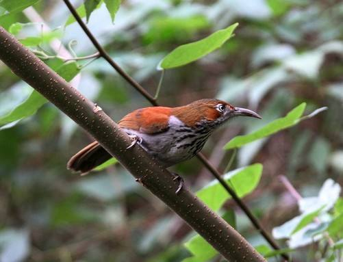 grey-sided scimitar-babbler