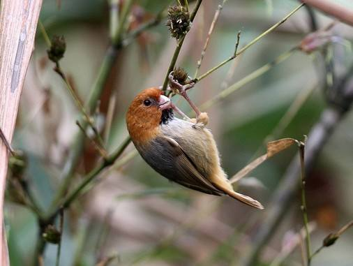 Short-tailed Parrotbill © Tang Jun