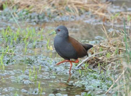 Black-tailed Crake in Bhutan by Peter Lobo