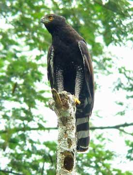 Black-Hawk-Eagle-by-Diego-Calderon
