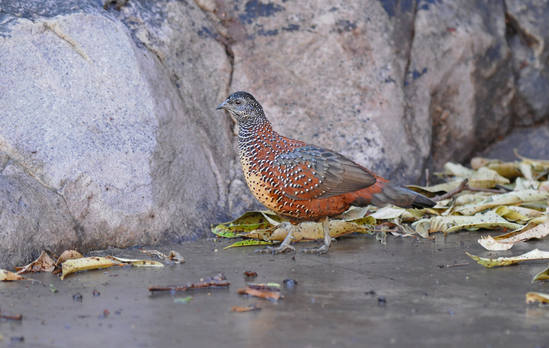 Painted Spurfowl - North India 2015