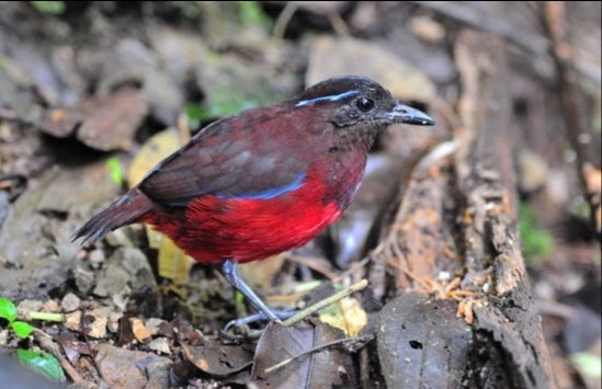 Graceful Pitta, Tapan Rd by Nick Bray
