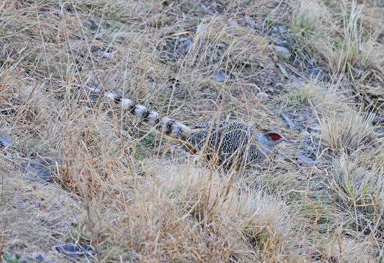 Cheer Pheasant - Classic Himalayas 2015