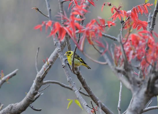 Himalayan Greenfinch