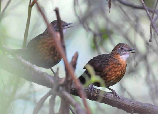 Rusty-breasted Wren-Babbler