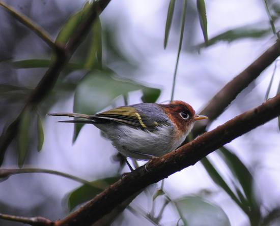 Sunda Warbler
