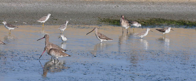 Asiatic Dowitcher - Thailand 2014 tour