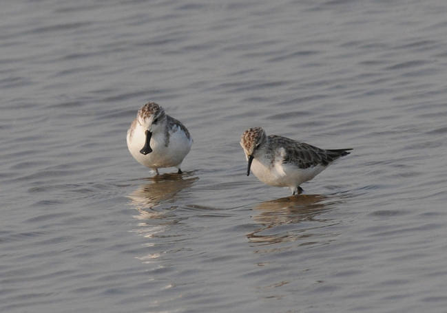 Spoon-billed Sandpiper - Thailand 2015 Tour