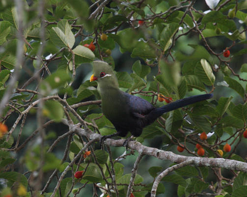 Yellow-billed Turaco - Ashanti Tours