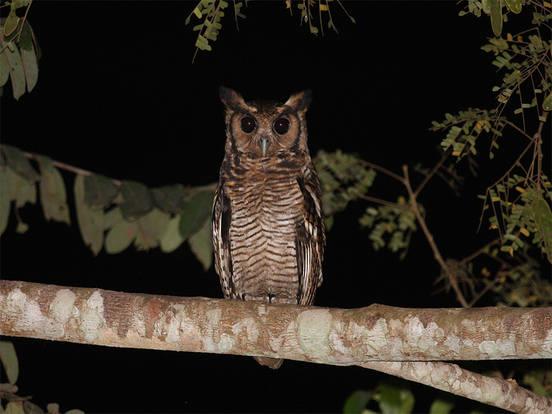 Frasers Eagle Owl - Ashanti Tours