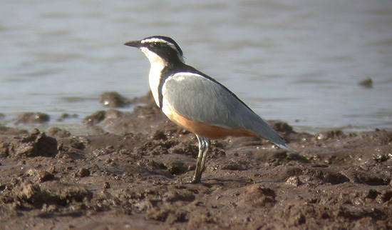 Egyptian Plover by Nick Bray