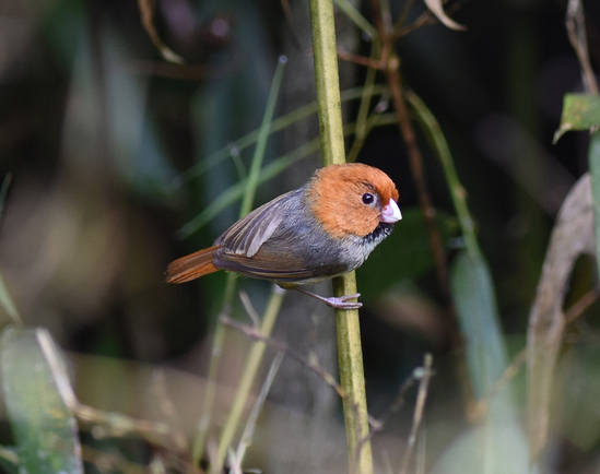 Short-tailed Parrotbill - SE China 2015