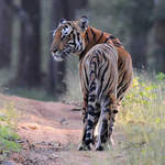 Tiger at Nagarhole