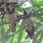 White-fronted-Scops-owls - Thailand 2013