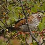 Barred-Laughingthrush-2