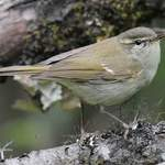 Large-billed-Leaf-warbler 2013