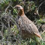 Tibetan-Partridge-2-Sichuan-Tour-2013