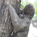 Brown-throated Three-toed Sloth © Nick Bray