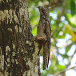 Common Potoo © Nick Bray