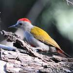 African-Grey-Woodpecker