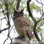 Grayish-Eagle-Owl