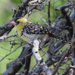 Yellow-breasted-Barbet