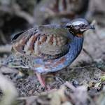 Rufous-throated-Partridge - Doi Inthanon 2014