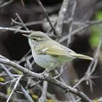 Greenish-Warbler - Nick Bray 2014 tour
