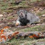 Pallas's-Cat  - Qinghai tour by Nick Bray