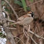 Saxaul-Sparrow in Xinjiang  by Nick Bray
