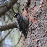 Three-toed Woodpecker - by Nick Bray