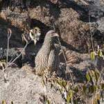 Hartlaub's-Spurfowl - Erongo Mountains 2014