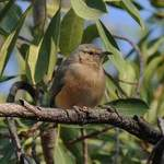 Long-billed-Crombec - Namibia  July 2014