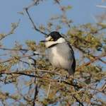 White-tailed-Shrike Erongo-Mtns July 2014