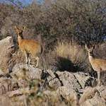 Klipspringers - Namibia July 2014