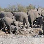 African Elephants - Etosha July 2014