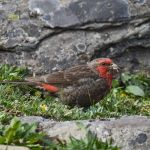 Red-fronted Rosefinch - Sichuan 2015
