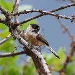 Black-browed Bushtit - Sichuan 2015